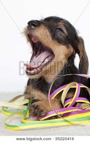 Puppy Yawning While Playing With Serpentines