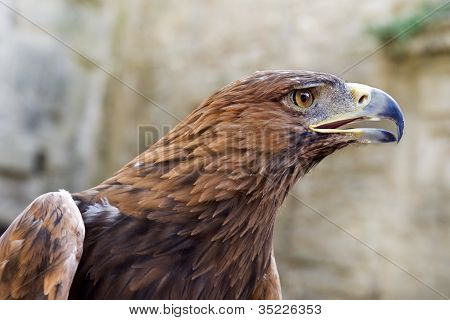 Golden Eagle ,aquila Chrysaetos