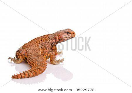 lizard (uromastyx)
