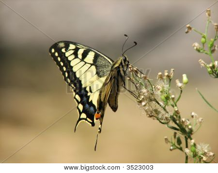 Yellow Machaon (Swallowtail) Butterfly