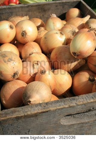 Yellow Onions, Freshly Harvested