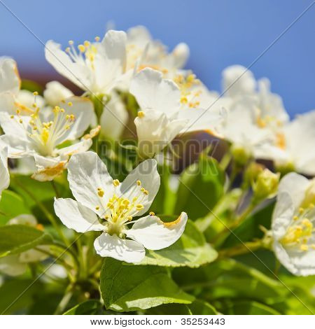 Apple Blossoms Signal Springtime