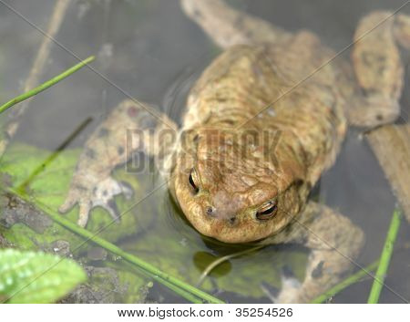 Common Toad In Wet Ambiance