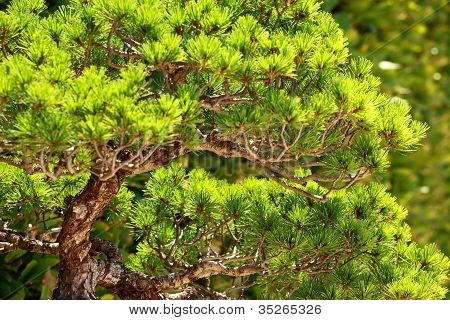 Bonsai On Green Grass Background