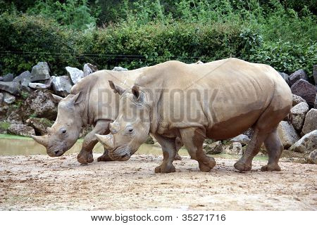 a pair of rhinos in a zoo enclosure