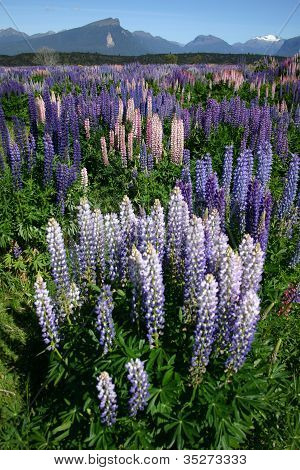 Field Of lupins Milford Sound New Zealand