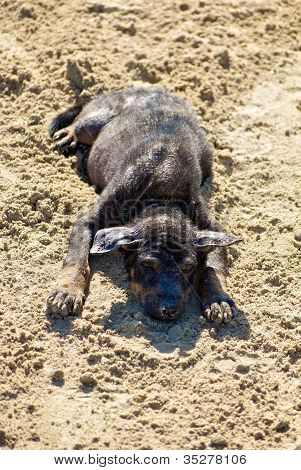 Burmese puppy