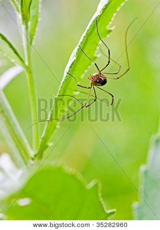 The Harvestman Spider