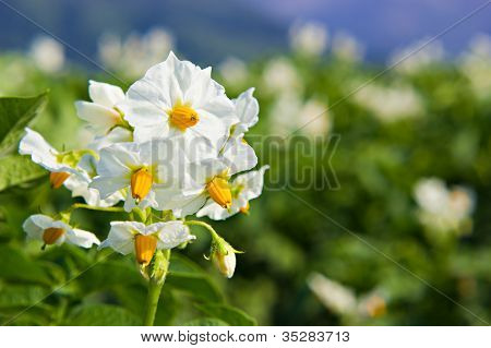 The Potato Flowers
