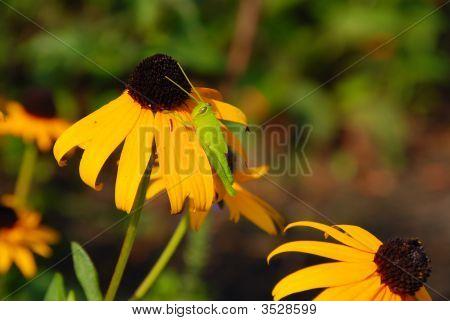 Green Valley Grasshopper Nymph On Wildflower