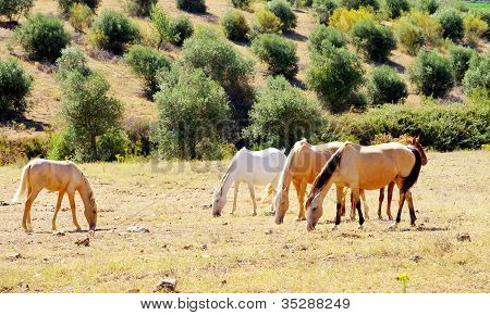 Horses Grazing In Dry Field
