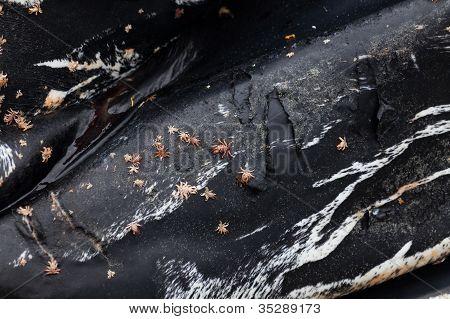 Humpback Whale Skin