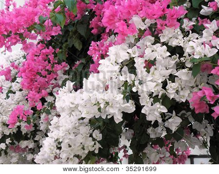 Beautiful Mediterranean shrub with dichroic colors .