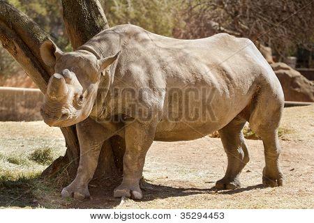 Hook-lipped Rhino