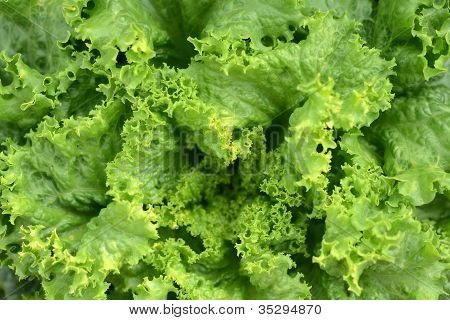 Fresh Green Lettuce Or Salad Leaves As Background