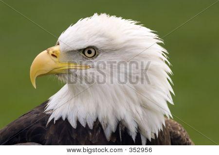 Bald Eagle Portrait