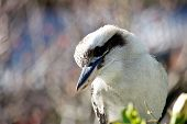 stock photo of kookaburra  - Close up profile of Australian kookaburra taken in a Sydney backyard - JPG