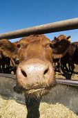 stock photo of feedlot  - feeding bunks on a farm in saskatchewan - JPG