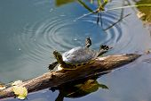 stock photo of cooter  - A turtle relaxing on a log in a Florida pond - JPG