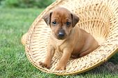 stock photo of miniature pinscher  - The Miniature Pinscher puppy 1 months old - JPG