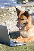 stock photo of german shepherd dogs  - Germany Sheep - JPG