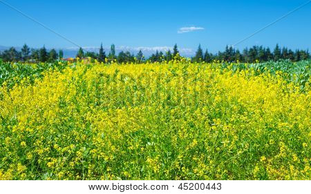 Rapeseed field over clear blue sky, beautiful fresh yellow flowers, floral meadow on the farm, cultivate oilseed plant on countryside, spring season