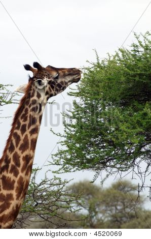 Giraffe - The Tallest African Mammal
