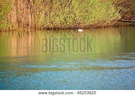Ducks, Timavo River