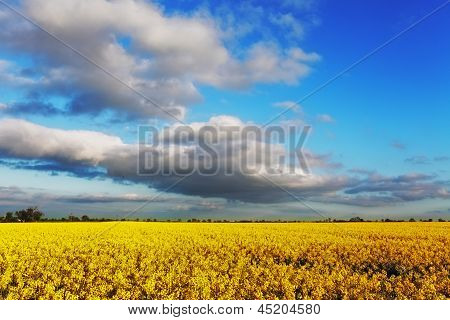 Canola Yellow Field