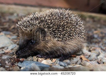 Young Hedgehog