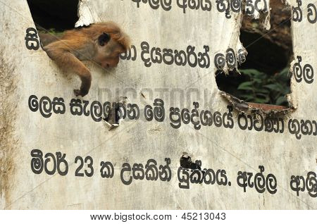 Playful toque macaques and old sign