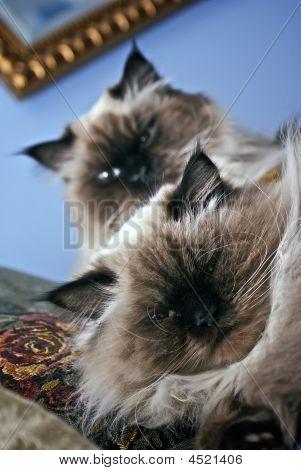 Persian Himalayan Brother Cats
