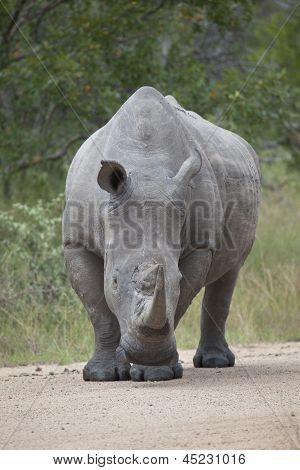Rhino bull