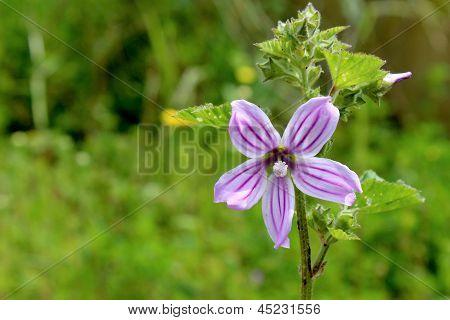 Lavatera Cretica, uma espécie de planta pertencente à família Malvaceae.