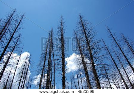 Burned Pine Trees