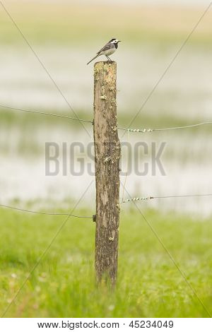 Kleine Bachstelze Sitting on Top of A verwittert Pole