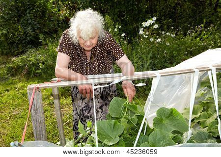The Old Woman In A Hothouse At Bushes Of Cucumbers