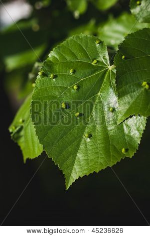 Gall Mites On Linden Tree Leafs