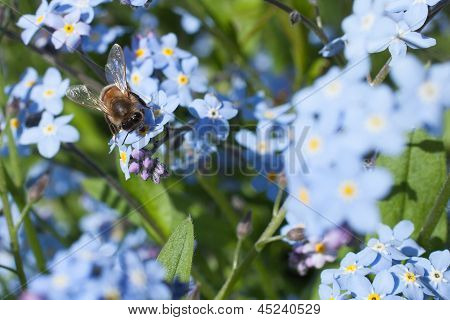 Honey Bee On Blue Garden Flower