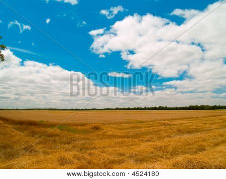 Landscape With Ripened Wheat