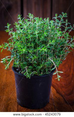 Marjoram in flower pot for planting