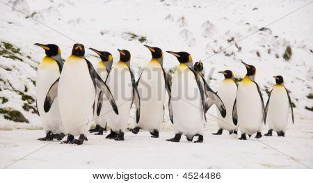 King Penguins Marching Together