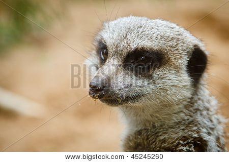 Close up portrait of meerkat