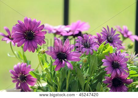 Osteospermum Akila Purple Flower