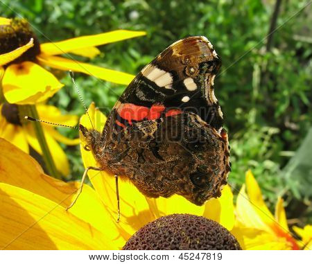 Red Admiral butterfly on rudbeckia flower (Vanessa Atalanta)