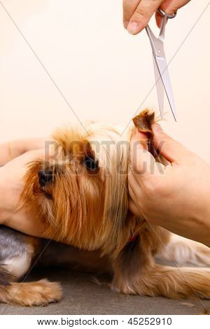 Yorkshire Terrier getting his hair cut