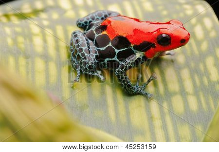 tropical pet frog, ranitomeya amazonica. Red poison dart frog from Amazon rain forest in Peru. These exotic amphibian are kept in a terrarium, they are poisonous animals with beautiful bright colours