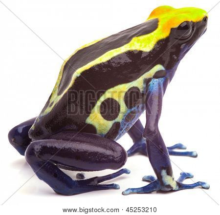 poison arrow frog form Amazon rain forest isolated on white. Dendrobates tinctorius, cobalt beautiful macro of bright yellow and blue tropical animal. Kept as exotic pet in a rainforest terrarium.