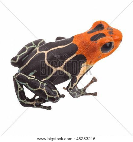 Poison arrow frog isolated. Tropical small exotic amphibian from Amazon jungle in Peru kept as pet animal in a jungle terrarium. Macro of beautiful cute poisonous amphibian ranitomeya fantastica
