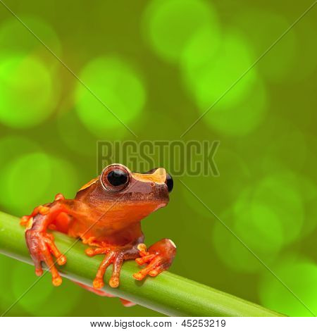 red tree frog climbing in tropical Amazon rain forest. Small amphibian with big eyes, Dendropsophus leucophyllatus from exotic jungle of Peru, brazil. Beautiful macro of small cute rainforest animal